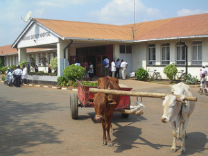 Oxcart at Kasungu Hospital
