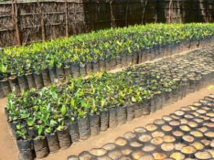 Trees staged for planting - Malawi