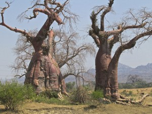 Balbao trees in the Valley of the Giants