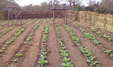 CROPS IN THE DRY SEASON
