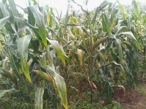 Harvest Forecast Mixed