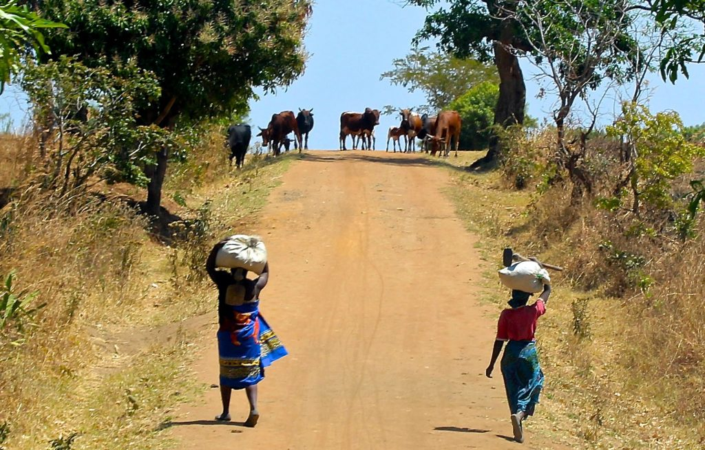 A pair of villagers walking up a dirt road toward some cattle.