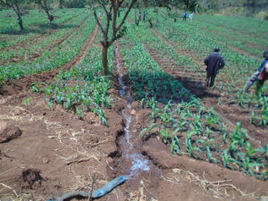 Crops being irrigated