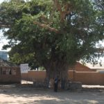 A giant fig tree that witnessed the beginning of the end of the slave trade