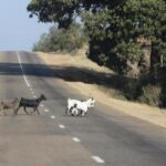 Goats walking across one of the few paved roads