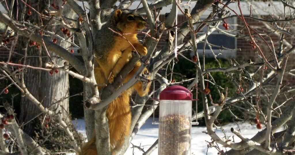 Squirrel Moves on Bird Feeder
